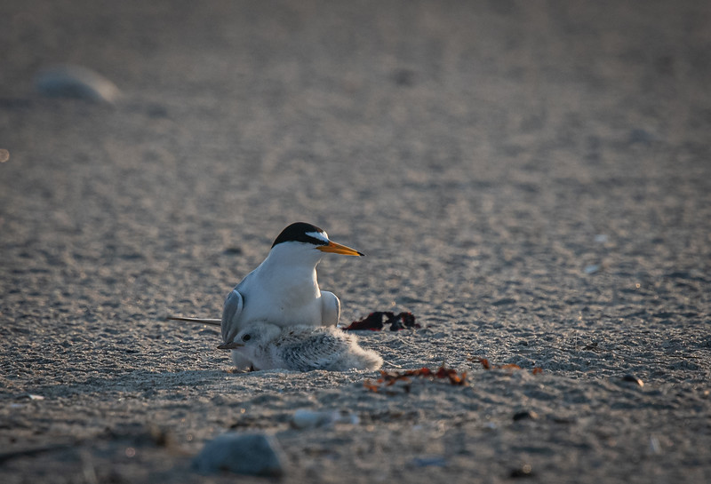Least Tern mom + 1