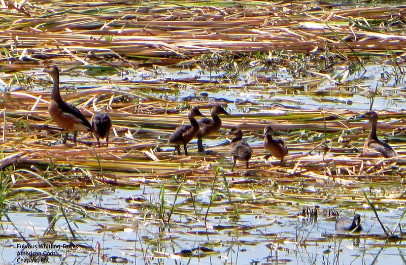 IMG_5145 T crp Fulvous Whtng-Ducks Chapala.jpg