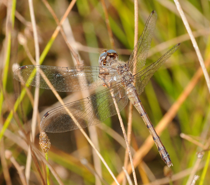 Sympetrum ambiguum (Blue-faced Meadowhawk), GA - female
