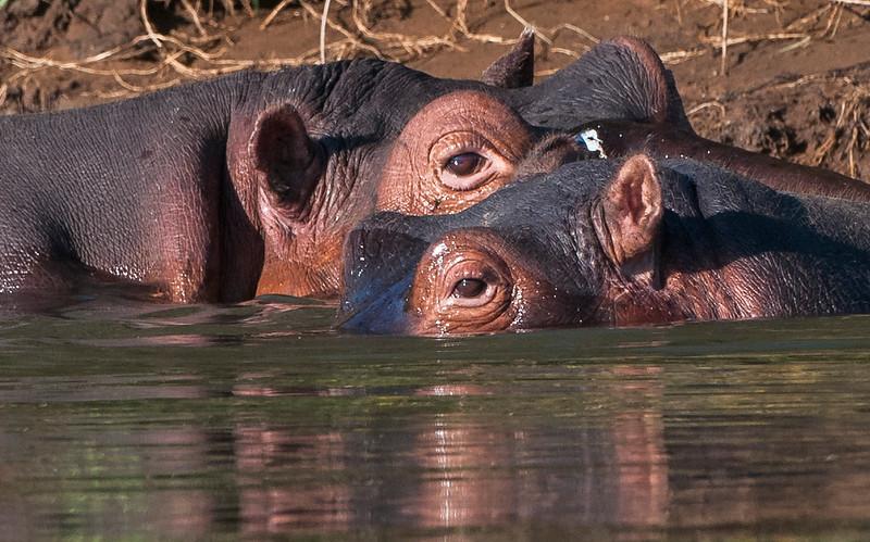Hippos-14.jpg