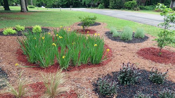 April 24 - 27:  More Yellow Flag Irises bloom .  .  .