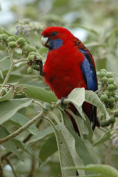 Crimson Rosella Australia
