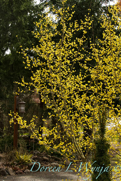 Cornus mas Golden Glory_020.jpg