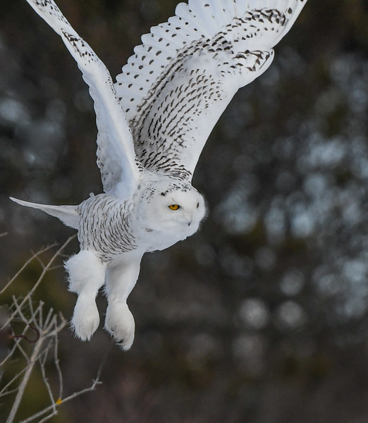 DSC_4166-Edit Snowy Owl DB takeoff.jpg