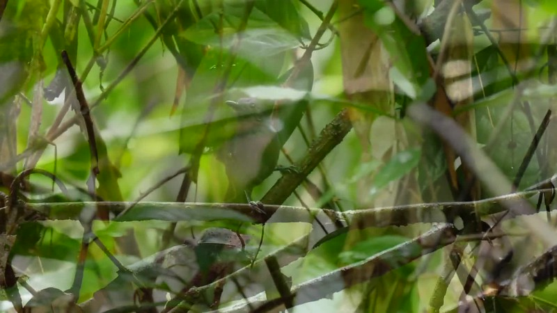 Some great antbirds in clips by guide Bret Whitney from our Brazil: Roraima Adventure tour, including Ferruginous-backed Antbird and Rio Branco Antbird.