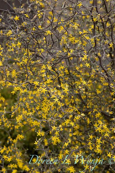 Corokia cotoneaster blooming_1342.jpg
