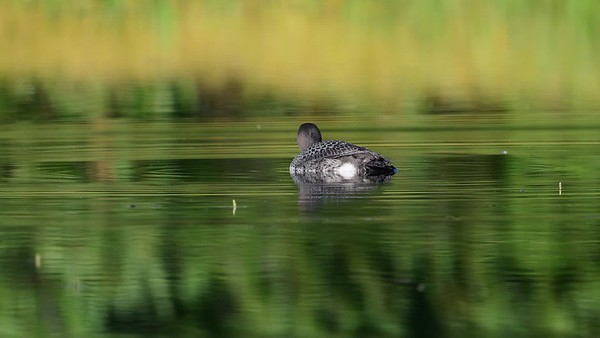 8-25-17 Common Loon - Juvenile - Peace On The Pond