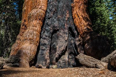 Yosemite NP - Sequoias