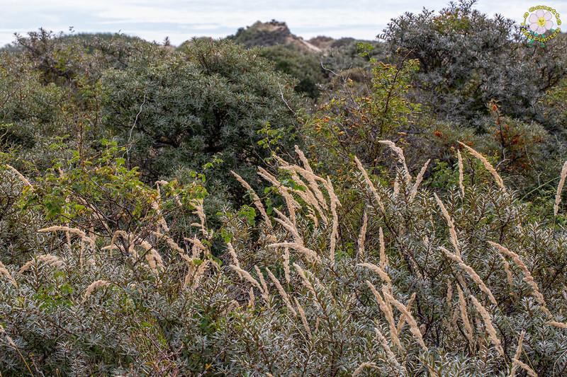 Calamagrostis commun (Calamagrostis epigejos)