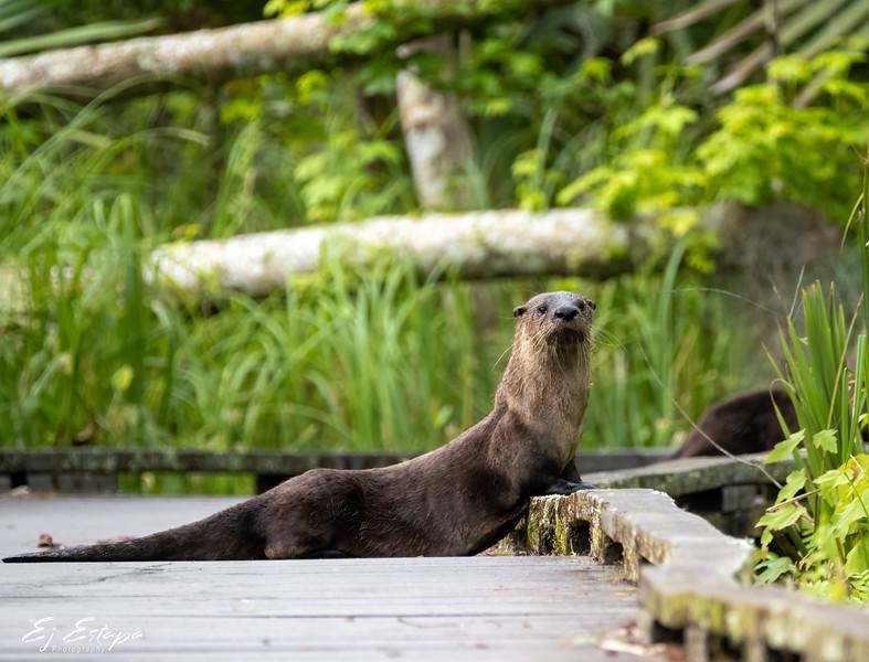 otters_BP_0521_3.jpg