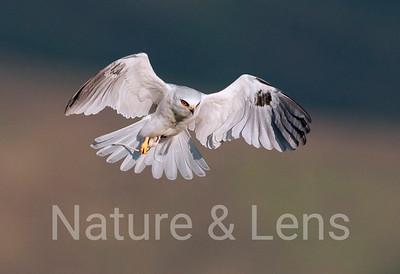 White - tailed Kites