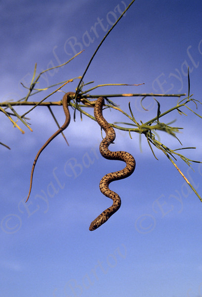 black whipsnake - Dolichophis jugularis - זעמן שחור