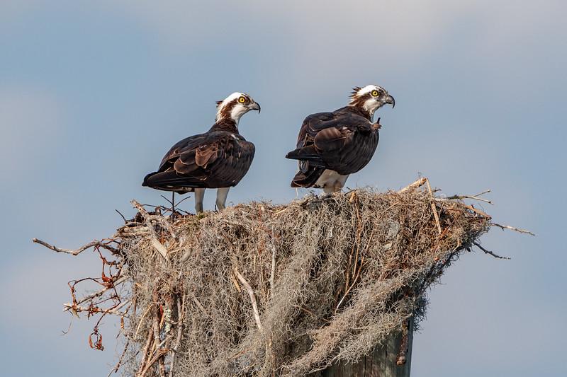 Osprey Juveniles on Nest
