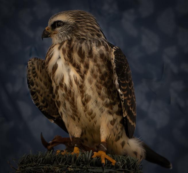 Mississippi Kite (Jonathan Wood owner)