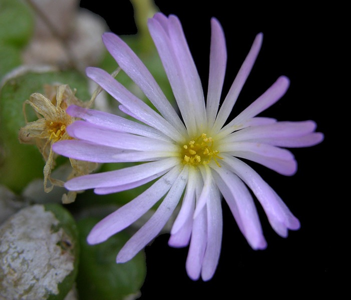 Conophytum ectypum