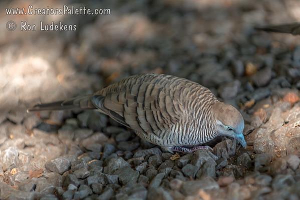 Zebra Dove/Barred Ground Dove (Geopelia striata)