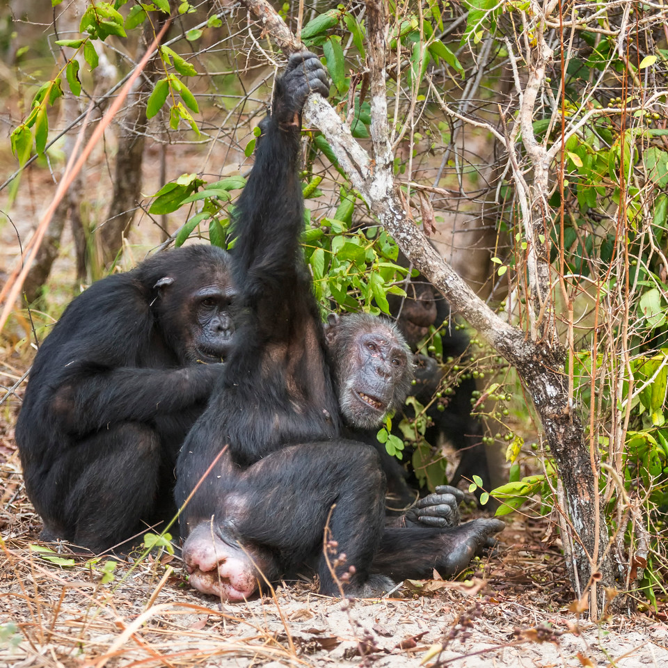 Chimp Branch Grasping Grooming - Ikocha being groomed by the pregnant Christina