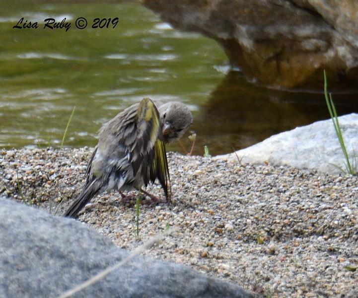 Lawrence's Goldfinch  - 5/15/2019 - Kitchen Creek, creek crossing