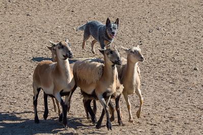 Trial Course A Sheep ADV