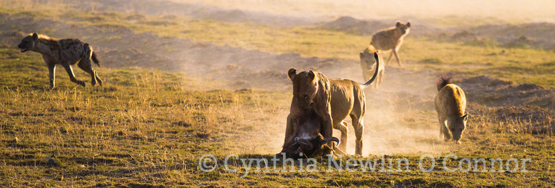 Cat Fight and More - 5 - Hyenas Approach - 4.jpg