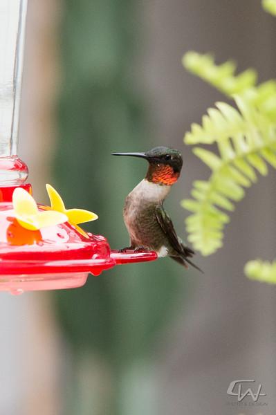 Hummingbird-1946.jpg