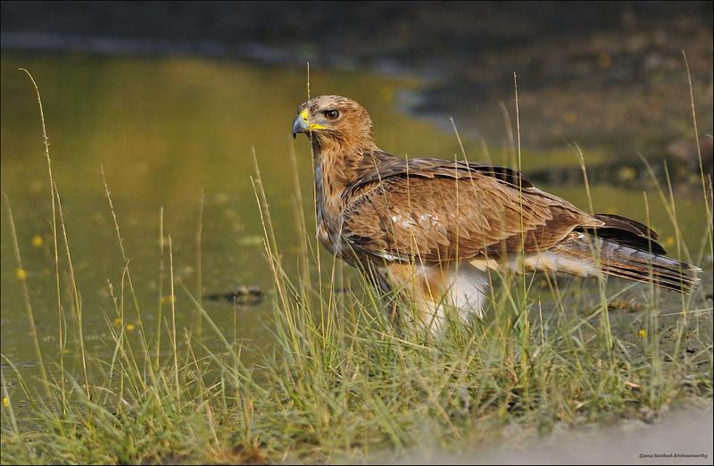 Bonelli's Eagle....