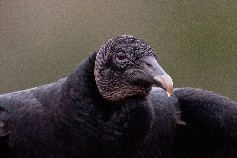 Vulture - Black - Three Lakes WMA - Kissimmee, FL