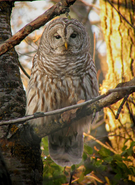November 3, 2008 Barred Owl
