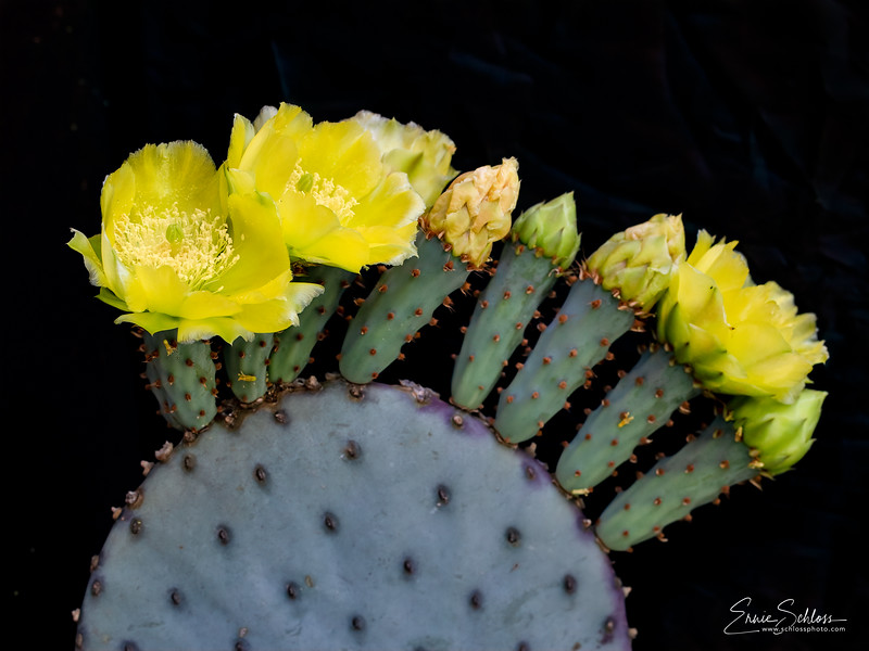 IR Cactus Flowers 2-1-2019e-.jpg