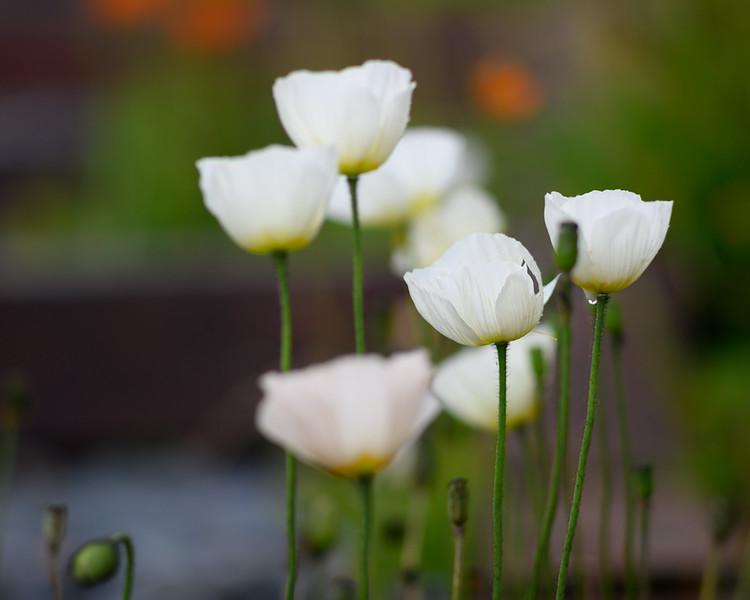 1-Poppies-in-the-rain-Z7-Contarex-180mm.jpg