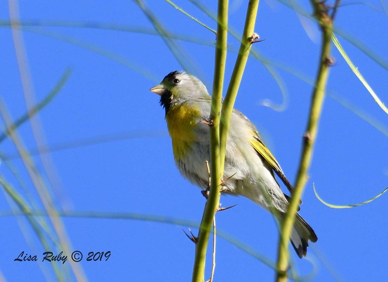 Lawrence's Goldfinch - 4/13/2019 - Agua Caliente County Park Campground