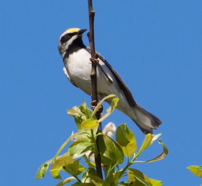 Golden-winged Warbler Blue Spruce Road Sax-Zim Bog MN IMG_8803.jpg