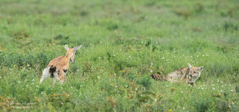Gazelle and Jackal play