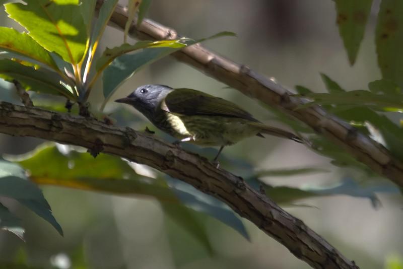 Streak-necked Flycatcher (2) at Machu Picchu Pueblo Hotel, Aguas Calientes, Peru (2008-07-05).psd
