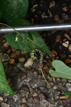 Caterpillars Moths Insects