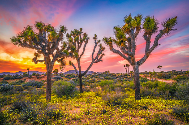 Joshua Tree Spring Symphony #13: Joshua Tree National Park Wildflowers Superbloom Sunset Fine Art Landscape Nature Photography  Dr. Elliot McGucken Prints & Luxury Wall Art!