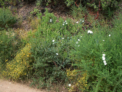 The Hills Are Alive with Blooming Chaparral: 2013-06-10 Kennedy Trail Hike