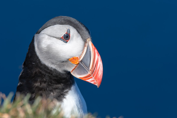 Puffins of Iceland