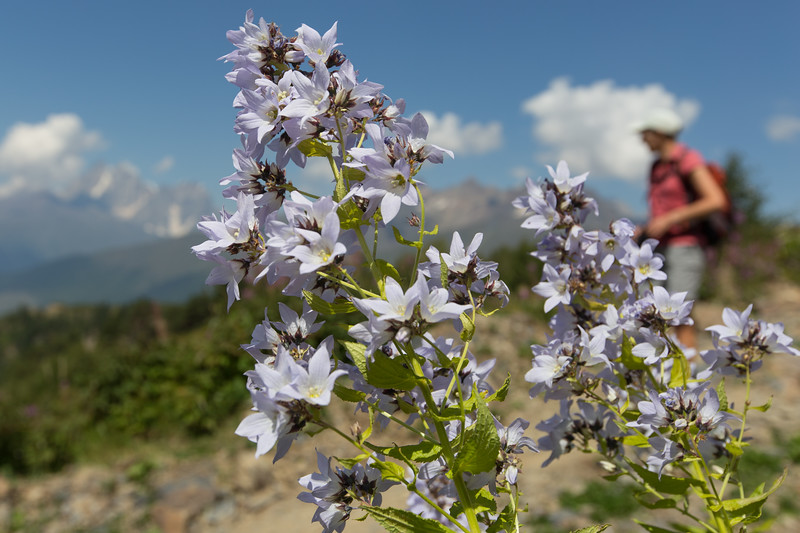 Mulakhi, Campanula lactiflora