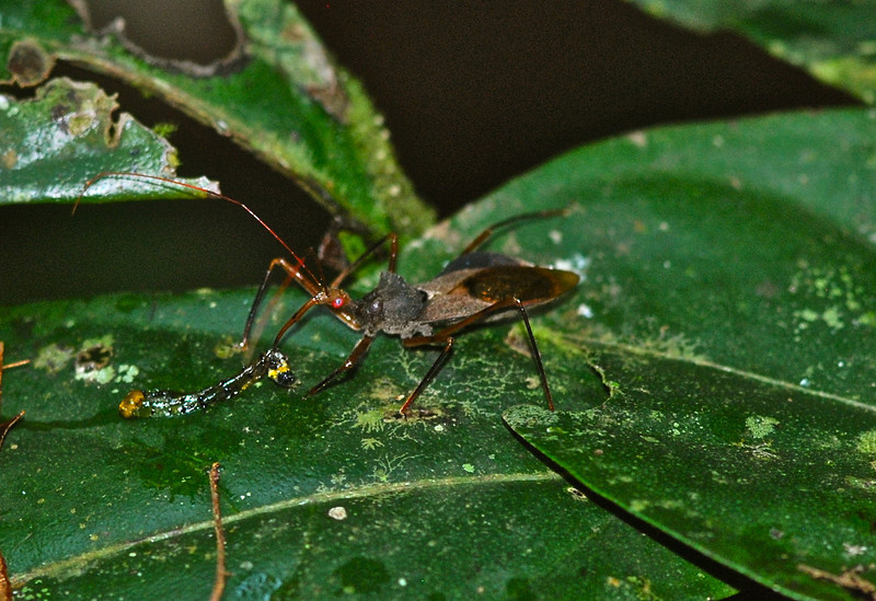 Assassin Bug - Guyana