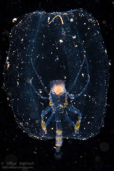 phronima (1 of 1).jpg