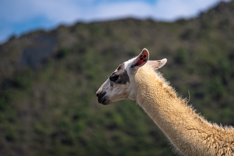 a two-l llama he's a beast.jpg