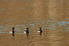 Ring-necked Ducks (Aythya collaris) in Lee Hall Reservoir, Newport News, VA. © 2006 Kenneth R. Sheide