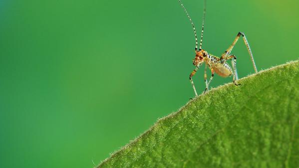 Grasshoppers - Sauterelles