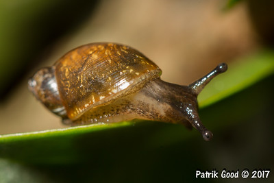 Speckled Amber Snail
