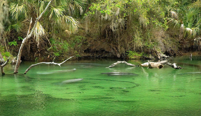 Manatees of Blue Springs State Park