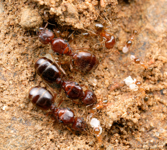 Multiple queens in a colony of Pheidole megacephala big-headed ants.    St. Lucia, KZN, South Africa