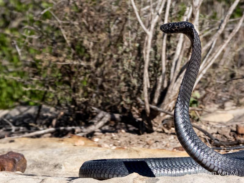 20200523 Black Spitting Cobra (Naja nigricincta woodi) from the Cederberg, Western Cape