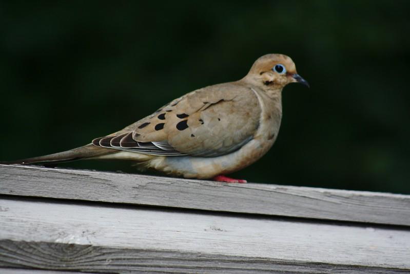 morning dove 2.jpg