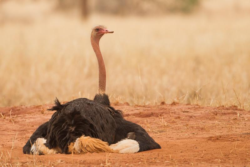 Common Ostrich - Tarangire National Park, Tanzania